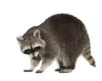Raccoon (9 meses) - lotor do Procyon Imagem de Stock Royalty Free