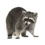 Raccoon (9 mesi) - lotor del Procyon Immagine Stock Libera da Diritti