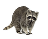 Raccoon (9 mesi) - lotor del Procyon Fotografie Stock Libere da Diritti
