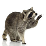 Raccoon (9 months) - Procyon lotor stock images