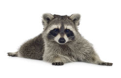 Raccoon (9 months) -  Procyon lotor Royalty Free Stock Images