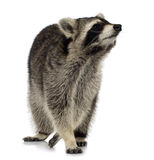 Raccoon (9 months) -  Procyon lotor Stock Photography