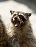 Raccoon. A raccoon outside during the day Royalty Free Stock Images