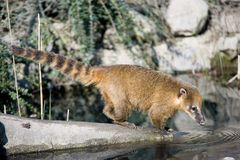 Raccoon. Thirsty wild animal Royalty Free Stock Photo