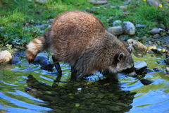 Free Raccoon Royalty Free Stock Photography - 9553997