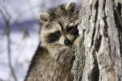 Raccoon in winter Royalty Free Stock Images