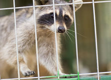 Raccoon, animal. Raccoon sitting in a cage Royalty Free Stock Photography