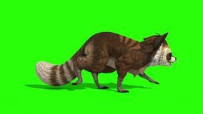 Raccoon Animal Walks Side Green Screen 3D Rendering Animation