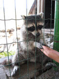 Raccoon with asking paw behind a bar Stock Photography
