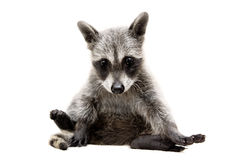 Raccoon baby Royalty Free Stock Images