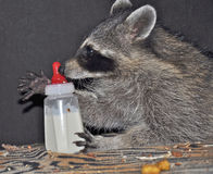 Raccoon with Baby Bottle Stock Images