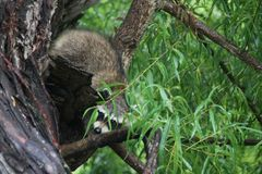 Racoon baby playing peek a boo Stock Image