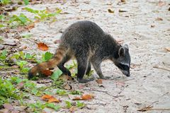 Raccoon on the beach in Costa Rica Royalty Free Stock Image
