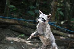 Raccoon begging for food on Manuel Antonio beach, Costa Rica. Royalty Free Stock Image