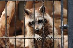 Raccoon behind bars. Sad image of caged raccoon, behind bars Stock Images