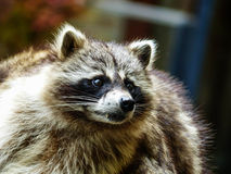 Raccoon / raton laveur Royalty Free Stock Images