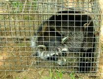 Raccoon bloccato Immagini Stock Libere da Diritti