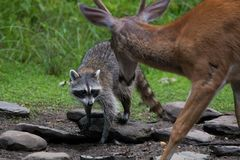 Raccoon and Buck. Deer facing each other on a pond bank Royalty Free Stock Photo