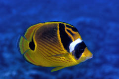 Raccoon Butterfly Fish Stock Photography