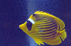 Raccoon butterfly fish bubbles Stock Photo