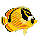 Raccoon Butterfly fish Royalty Free Stock Photos