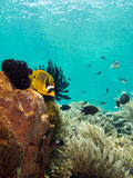 Raccoon Butterfly fish Stock Image