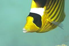 Raccoon butterflyfish Stock Photography