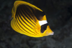 Raccoon butterflyfish royalty free stock images