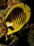 Raccoon Butterflyfish Stock Photos