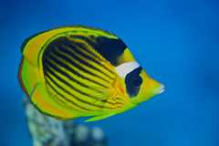 Raccoon Butterflyfish Stock Photography