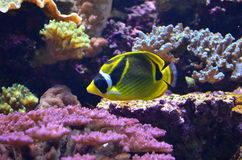 Raccoon Butterflyfish Royalty Free Stock Image