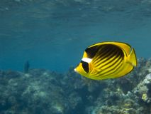 Raccoon Butterflyfish Stock Images