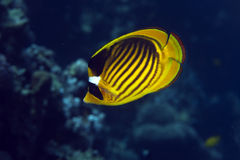 Raccoon butterflyfish (chaetodon fasciatus) stock photo