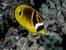 Raccoon butterflyfish,Chaetodon lunula,. Also known as the crescent-masked butterflyfish Royalty Free Stock Image