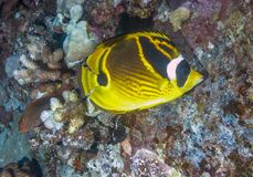 Raccoon butterflyfish ,Chaetodon lunula. Big island Hawaii raccoon butterflyfish ,Chaetodon lunula on coral reef Royalty Free Stock Photography