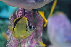 Raccoon butterflyfish Chaetodon lunula. Is found on coral reefs of the Indo-Pacific Royalty Free Stock Images