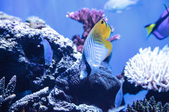 Raccoon butterflyfish Chaetodon lunula. Is found in the Indo-Pacific region Stock Photos