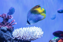 Raccoon butterflyfish Chaetodon lunula. Is found in the Indo-Pacific region Stock Photo
