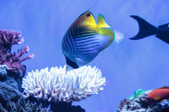 Raccoon butterflyfish Chaetodon lunula. Is found in the Indo-Pacific region Stock Image