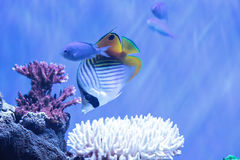 Raccoon butterflyfish Chaetodon lunula. Is found in the Indo-Pacific region Royalty Free Stock Photography