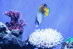 Raccoon butterflyfish Chaetodon lunula. Is found in the Indo-Pacific region Stock Photography