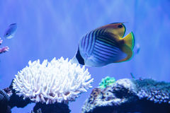 Raccoon butterflyfish Chaetodon lunula. Is found in the Indo-Pacific region Royalty Free Stock Images