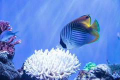 Raccoon butterflyfish Chaetodon lunula. Is found in the Indo-Pacific region Stock Images