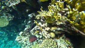 Raccoon butterflyfish in Red sea, Egypt. Raccoon butterflyfish closeup in Red sea, Egypt stock video footage