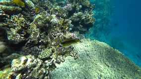 Raccoon butterflyfish in Red sea, Egypt. Raccoon butterflyfish closeup in Red sea, Egypt stock footage