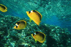 Raccoon Butterflyfish do Mar Vermelho Foto de Stock Royalty Free