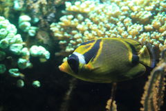 Raccoon butterflyfish Stock Image