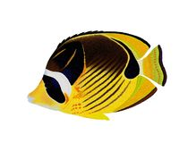 Raccoon Butterflyfish Royalty Free Stock Photography