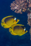 Raccoon butterflyfish pair stock images