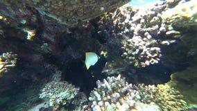 Raccoon butterflyfish in Red sea, Egypt. Raccoon butterflyfish closeup in Red sea, Egypt stock video